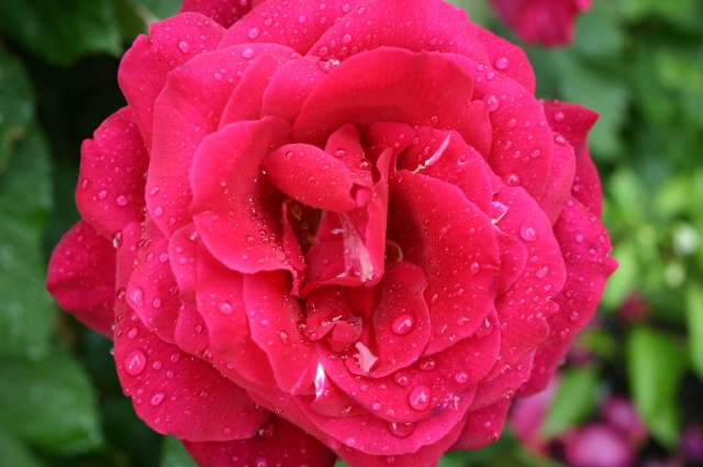 Rose w Water Droplets