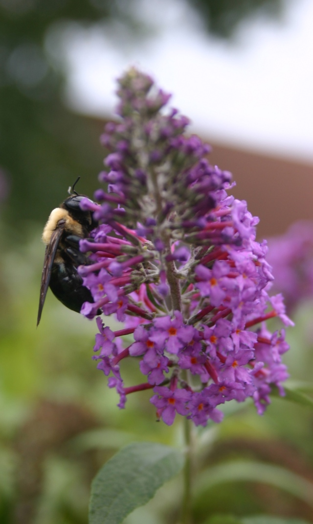 Bee on Butterfly Bush